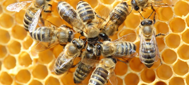 Commercial Beekeeping and the Rise of Bee Thieves