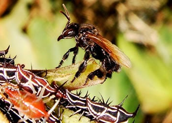 Stingless Bees Have a Scarier Way To Win Warfare