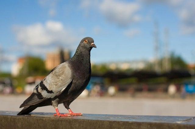 City Birds Have Bigger Brains