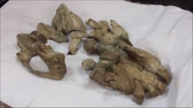 20 million year old primate skull discovered in Uganda