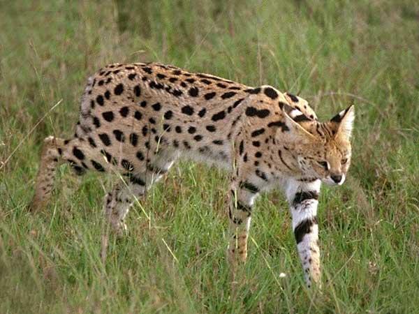 Caturday - Leptailurus serval Edition