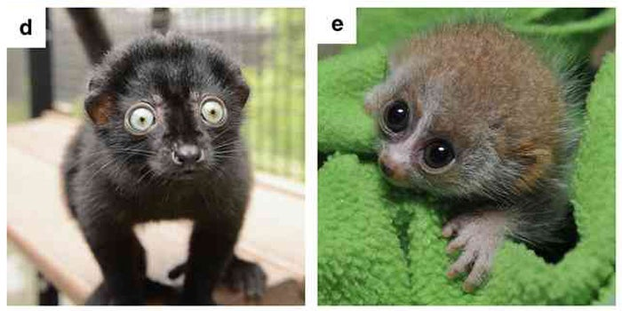 We'll Never Be Able To Collect Data This In-Depth On Lemurs Ever Again