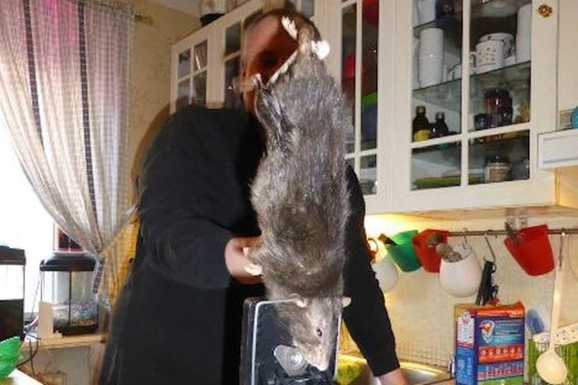 "Ratzilla, the 16-Inch ""Rat From Hell,"" Finally Captured in Sweden"