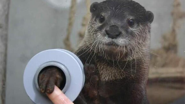 In this aquarium you can shake hands with otters (Happy Holidays!)