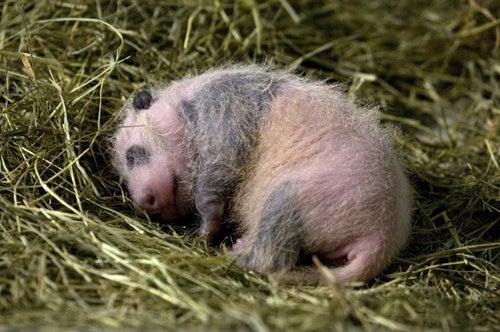 Baby Panda Celebrated Thanksgiving Early