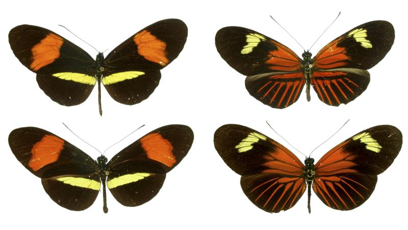 Müllerian mimicry helps prey train their predators