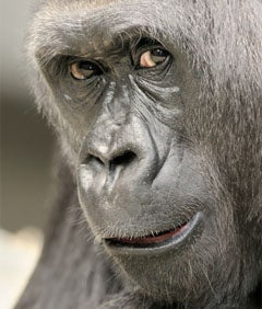 The Latest Threat To Your Beauty: Gorilla Face
