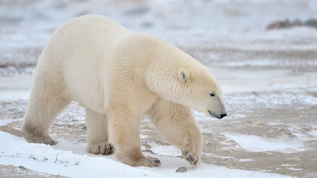 Analysis of polar bear DNA shows they're an ancient species with a tangled history