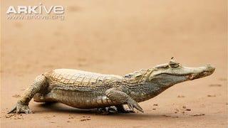 Sunday Crocodilian - Caiman crocodilus Edition