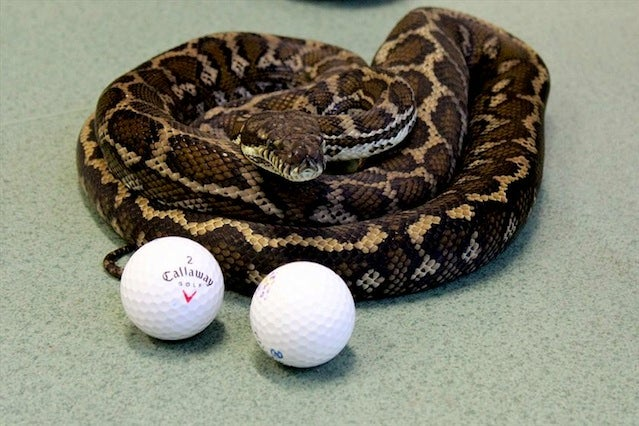 Poor Dumb Snake Eats Golf Balls Thinking They're Eggs