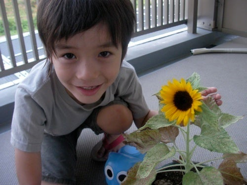 Look! The Sunflower Did Not Die.