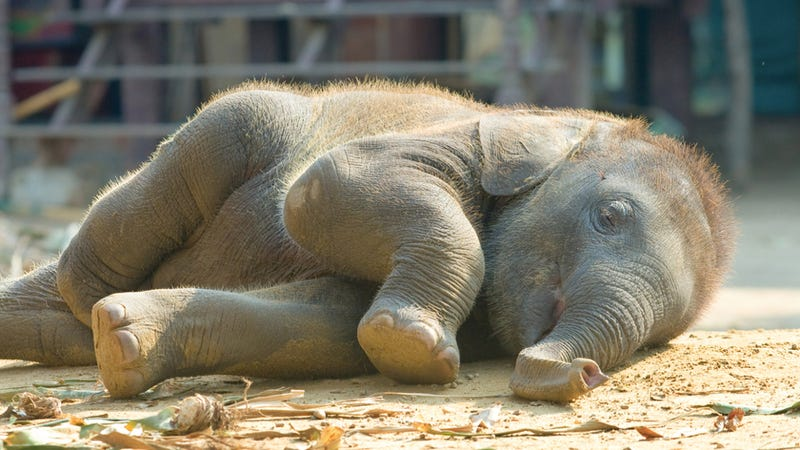 How elephants evolved a sixth toe