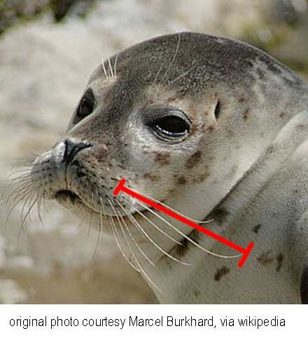 How quickly do seals' and sea lions' whiskers grow?