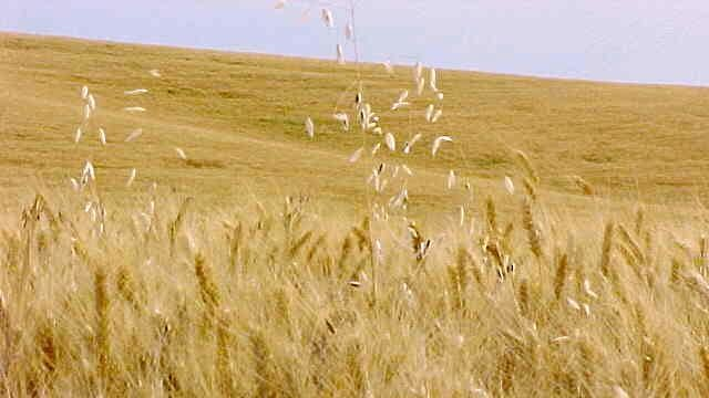 Feeding the world might require undoing 10,000 years of plant domestication