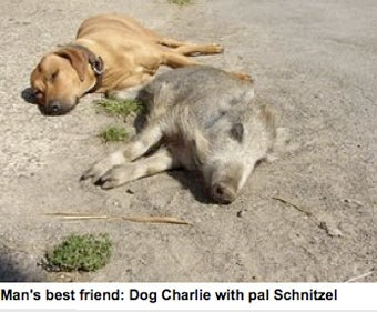 Dog Befriends Wild Boar