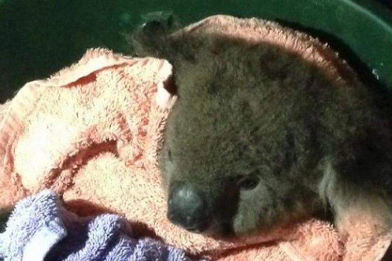 Heroic Firefighters Save An Injured Koala By Using Mouth-to-Mouth