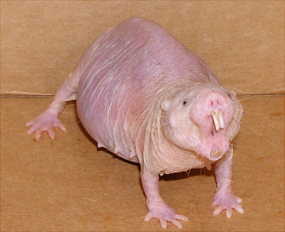 The naked mole rat can't feel pain from acid burns. Now we know why.