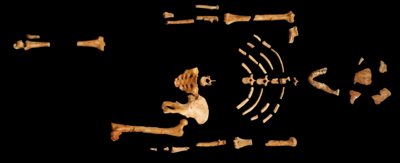Skeletal Analysis Suggests Lucy Died After Falling From a Tree