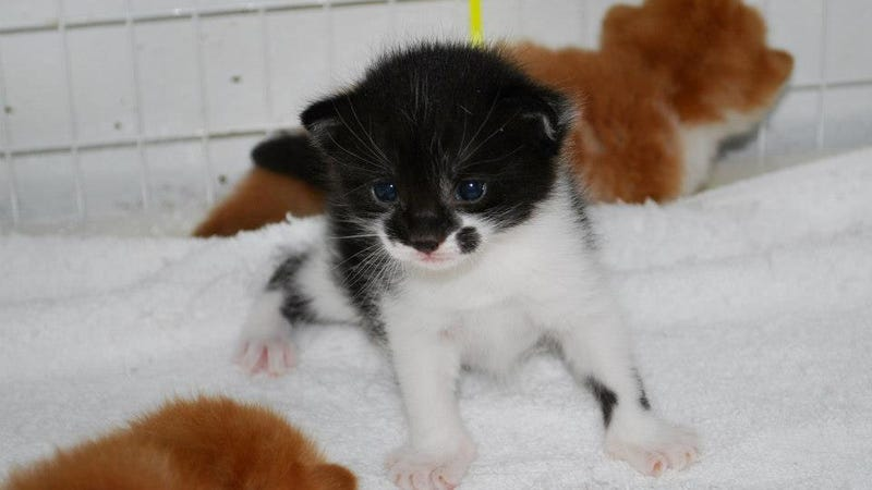 Your Sunday Blessing: Live Streaming Kitten Shenanigans
