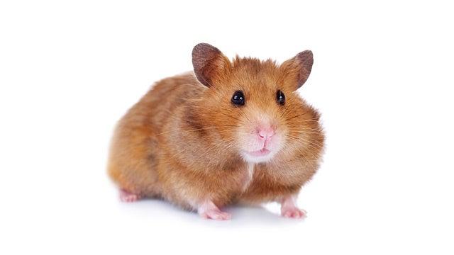 Teen Arrested for Killing Little Brother's Hamster