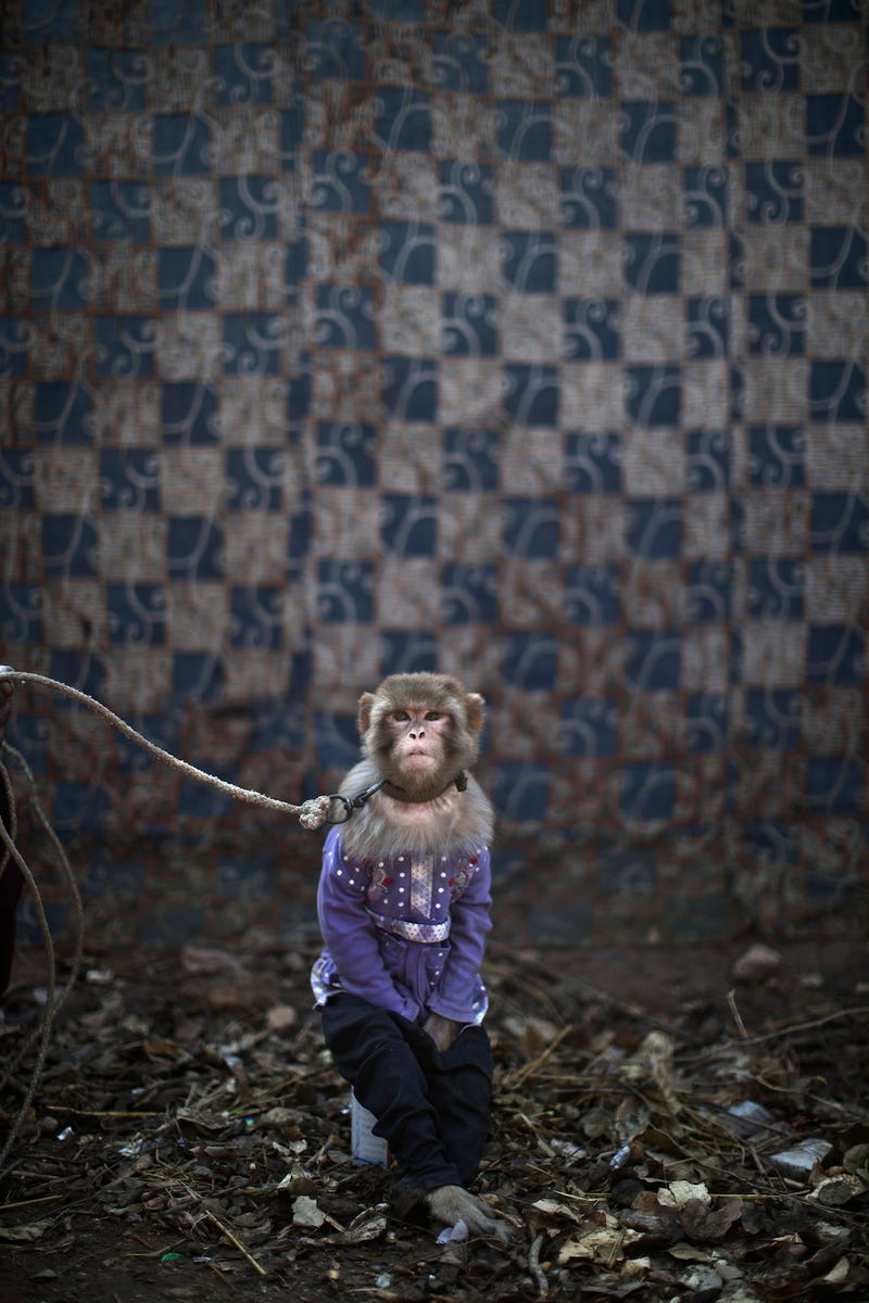 Here Are Some Depressing Photos of Worker Monkeys in Pakistan