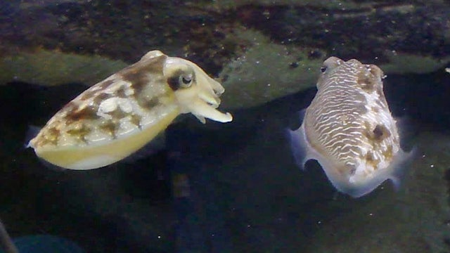 Secrets of the half-male, half-female cuttlefish revealed at last