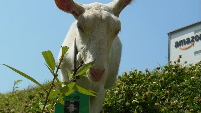 Goats Work at Amazon Japan. Like, Actual Goats.