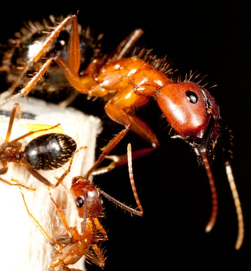 How a caste system reshapes the bodies of ants