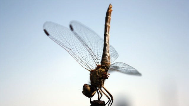 You Can Literally Scare a Dragonfly to Death