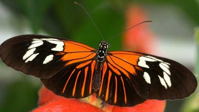 The convergent evolution of butterflies is controlled by a single gene