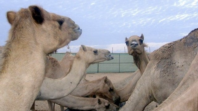 Camel urine...and its use in medicine