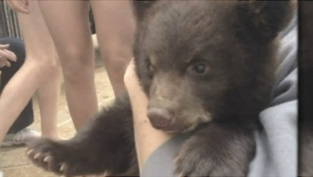 Baby Bear Will Be Spared After Biting 14 College Students (Updated)
