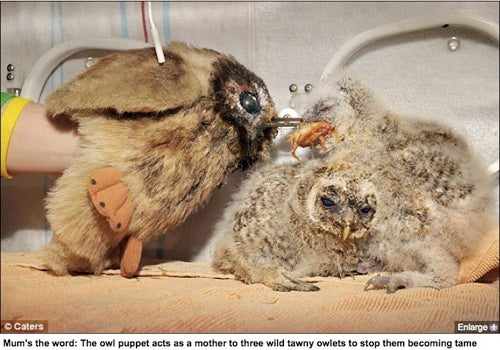 Owl Puppet Used To Feed Owl Chicks