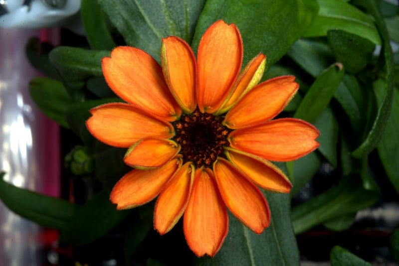 Zinnia is first flower grown in space
