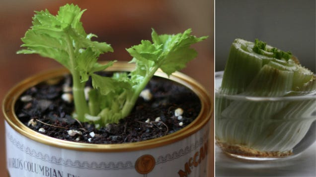 Grow an Endless Supply of Celery from an Old Celery Stalk