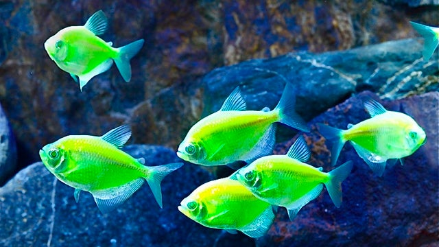 Hi-tech neon 'GloFish' could threaten natural species