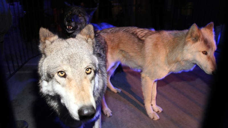 Twilight's After Party Featured Live Wolves, Like a Dark Episode of My Super Sweet 16