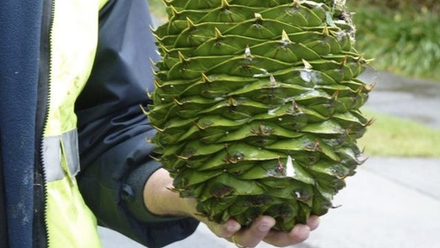 If you're in Australia, beware of deadly watermelon-sized pine cones