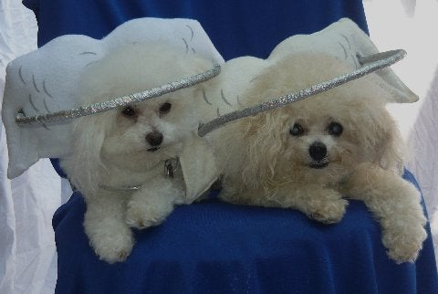 This Angel Costume Is Designed To Improve A Blind Dog's Quality Of Life