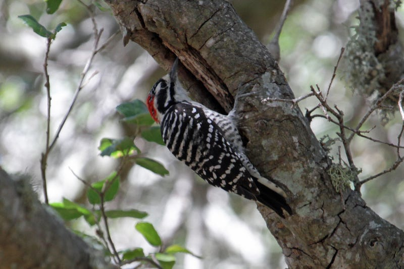 The Woodpecker's Guide to Avoiding Head Injuries