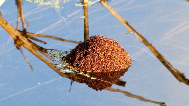 Unsinkable Raft Made of Fire Ants Is Floating Out There, Waiting