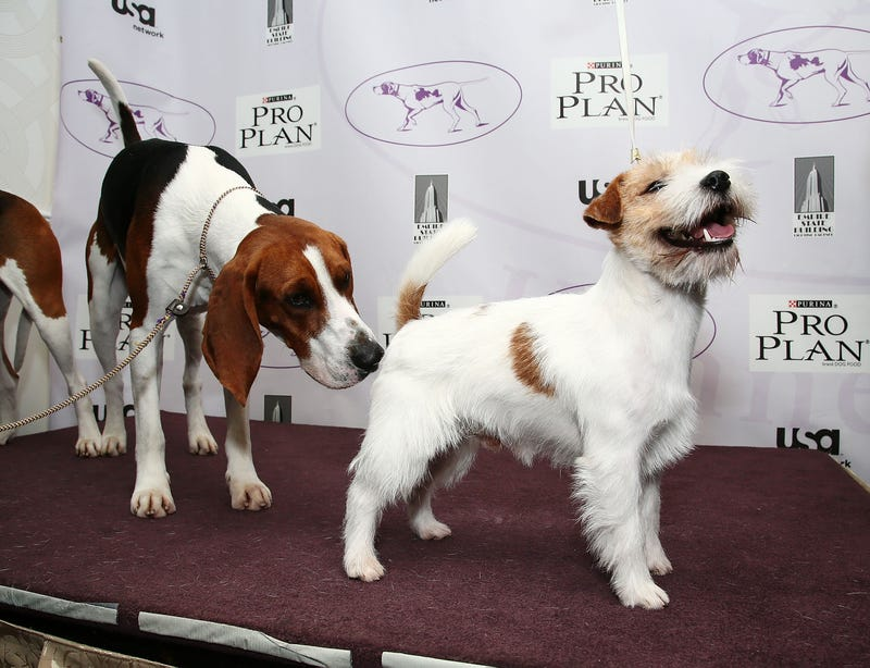 Westminster Kennel Club Lets In Two New Dog Breeds; Used to Be a Real High-Class Joint
