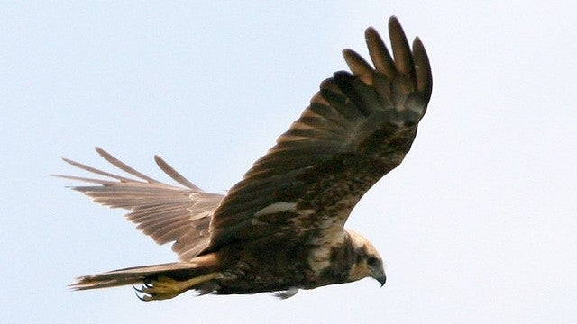 Marsh harrier birds suggest there are evolutionary advantages to gender bending