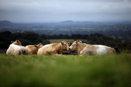 Will Cows Really Stop Britain's Public Roadside Sex Problem?