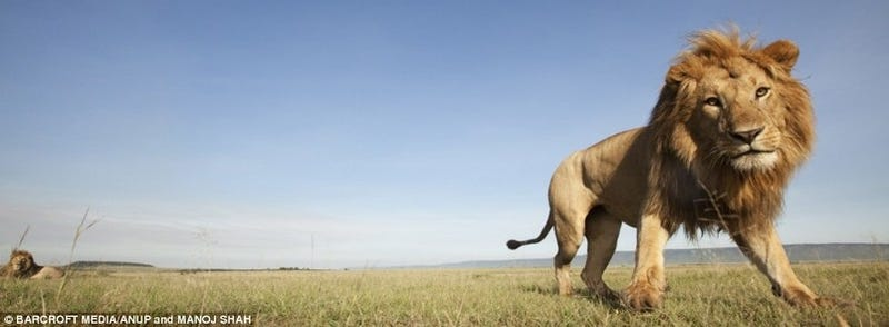 Spying On Lions with Elephant Poop