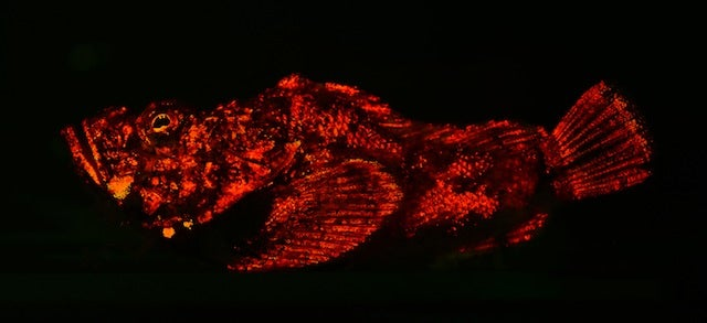 These new species of biofluorescent fish are beautifully strange