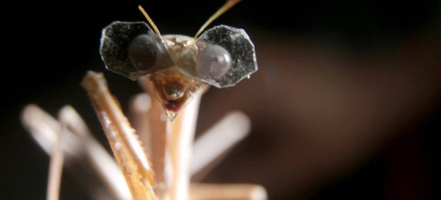 "A Praying Mantis Wearing Tiny 3D Glasses for ""Scientific Research"""