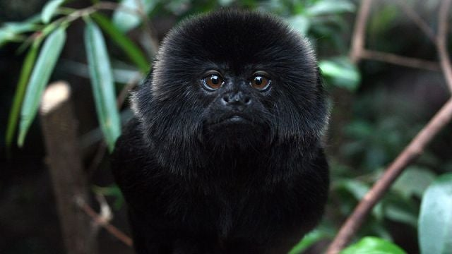 Marmosets can meditate (and are immune to the placebo effect)
