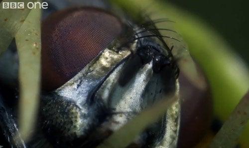 BBC Life: Venus Flytrap Grows in Time Lapse, Devours In Macro