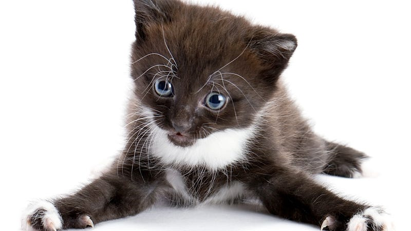 Good News: Cats Aren't Really Polluting Your Brain with Poop Parasites